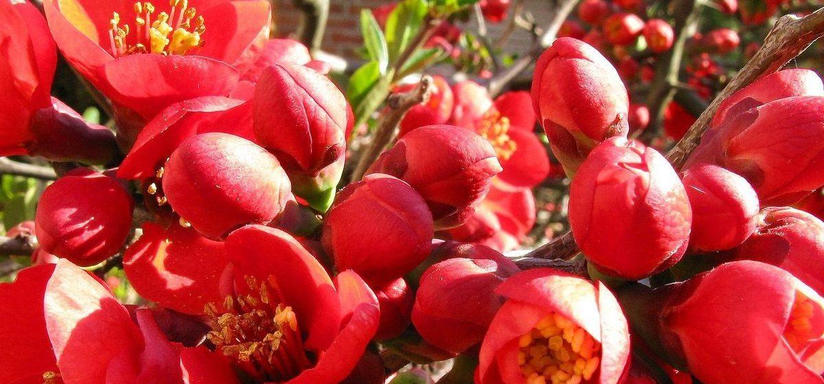 Кустарники, которые порадуют и цветами, и плодами