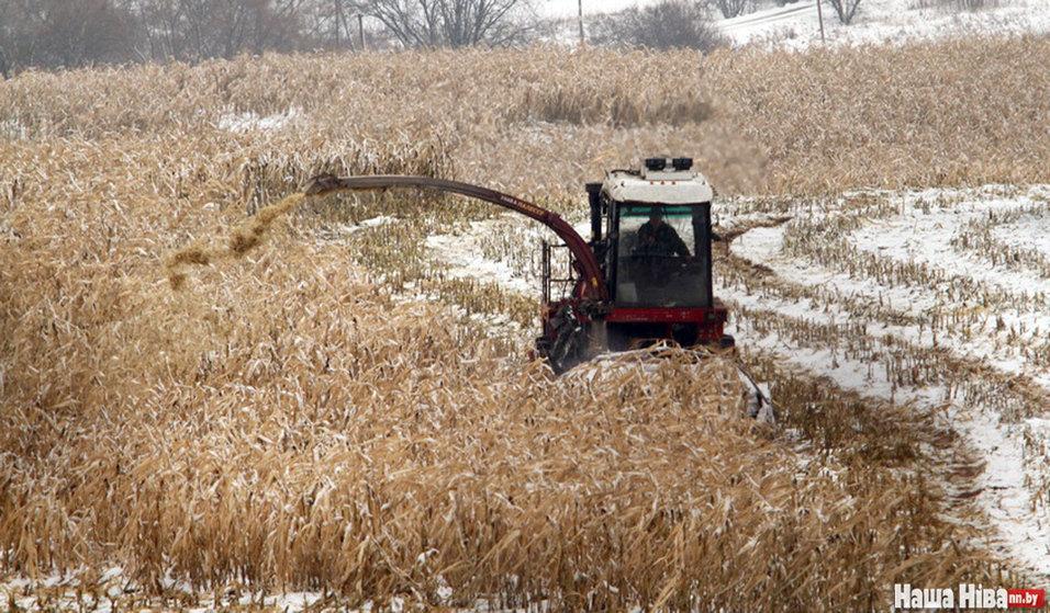 Эпоха развитого феодализма: в Вилейском районе горожан согнали руками собирать с земли кукурузу
