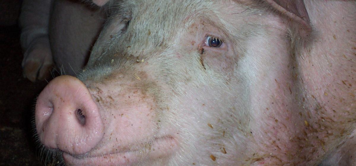 В Ляховичском районе могут уничтожить пять тысяч свиней – угрожает ли это Барановичскому району