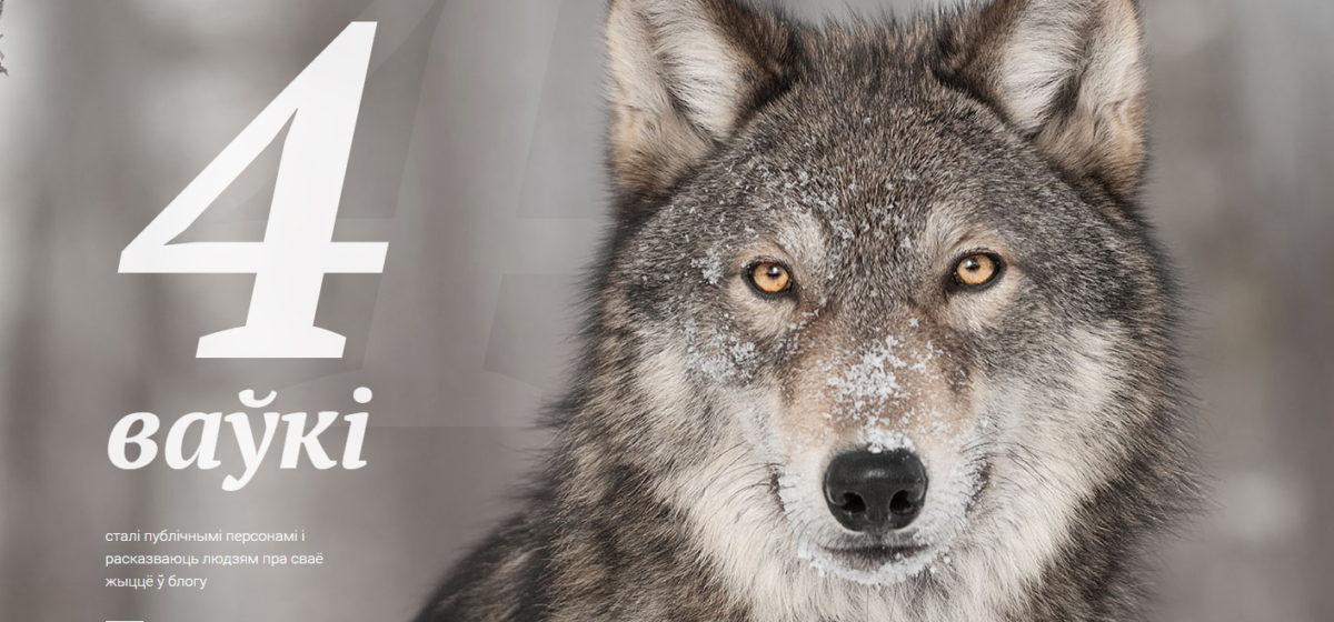 У белорусских волков с GPS-датчиком появился свой блог
