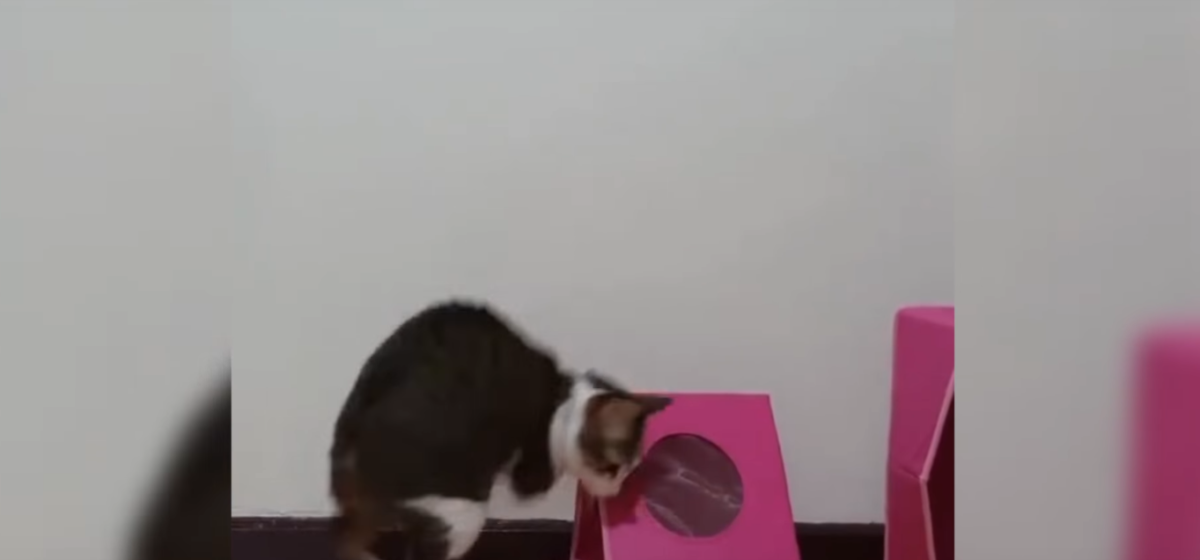 В cети появилось видео, как кот без передних лап, несмотря на травму, продолжает наслаждаться жизнью