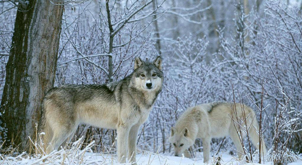 Стая волков из Украины пугает жителей Кобринского района
