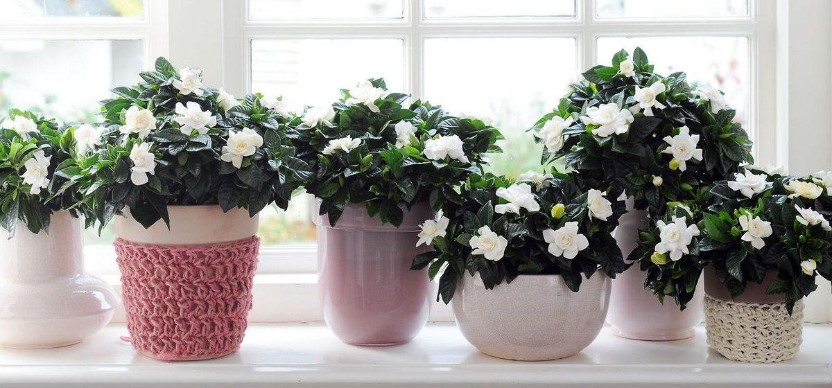 Гардения – особенности ухода за цветком