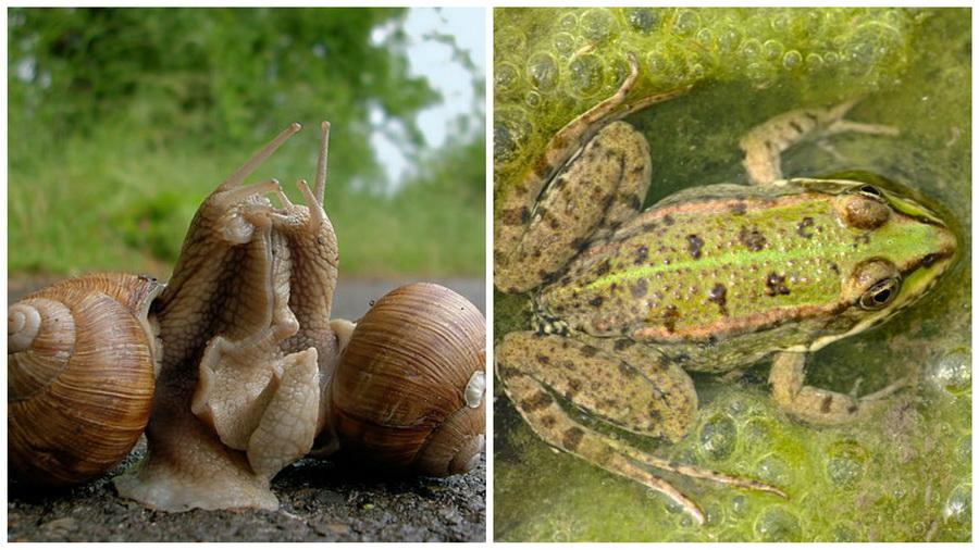 Вице-премьер: Беларусь может начать экспортировать лягушек и улиток в промышленных масштабах