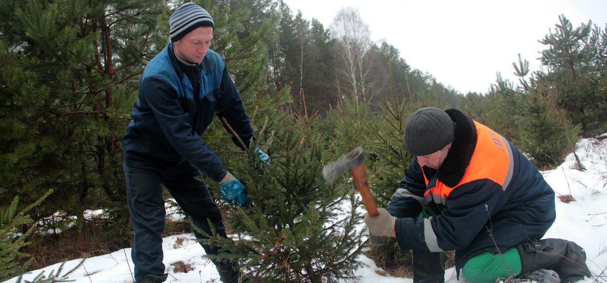 Жители Барановичей смогут купить на Новый год живую ель, растить ее до весны и пересадить в лес