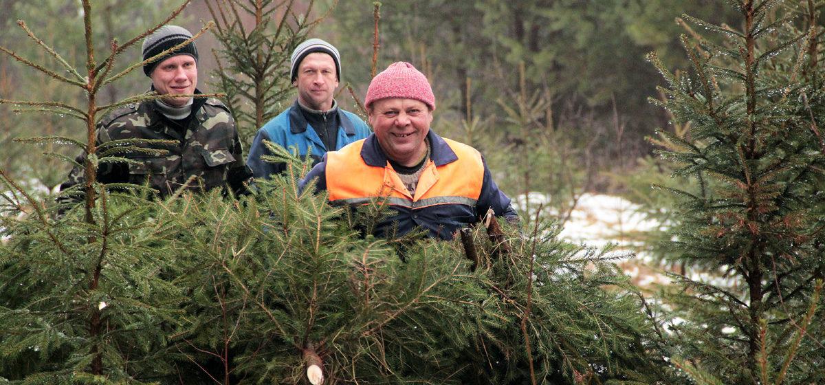 Как Барановичский лесхоз заготавливает елки к новогодним праздникам