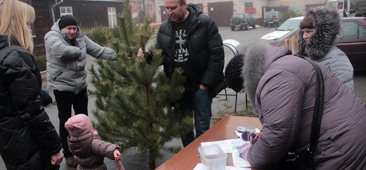 В Барановичах начал работать елочный базар