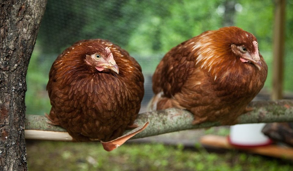В Польше зарегистрировано несколько вспышек птичьего гриппа