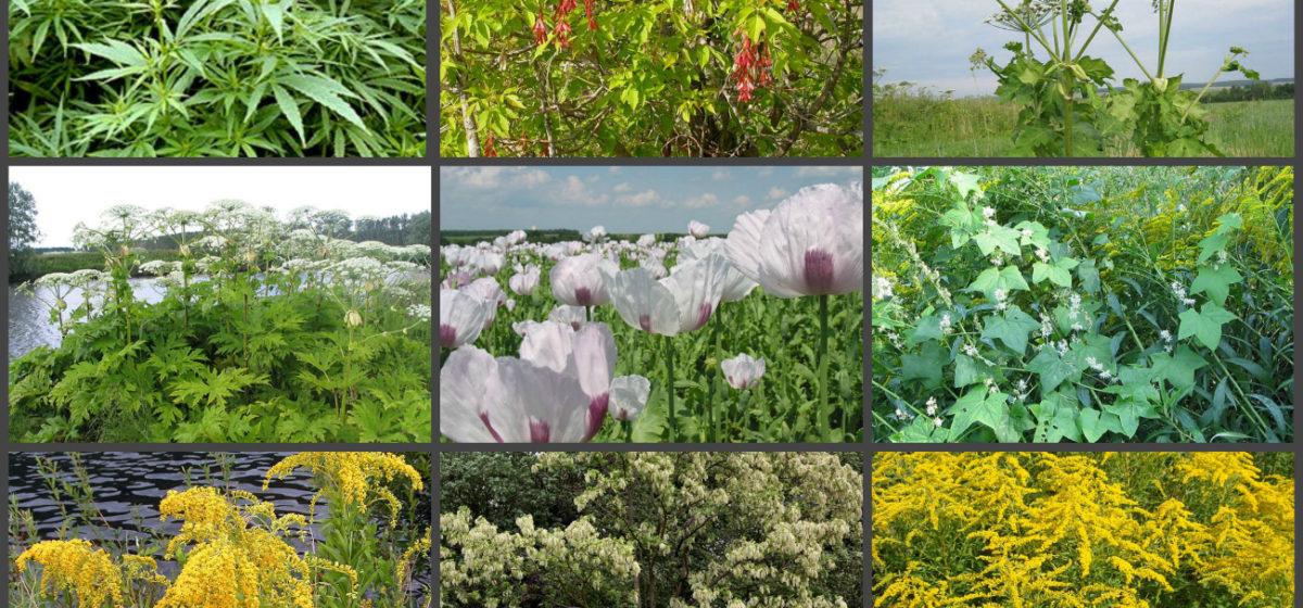 Девять растений, с которыми будут бороться белорусские власти