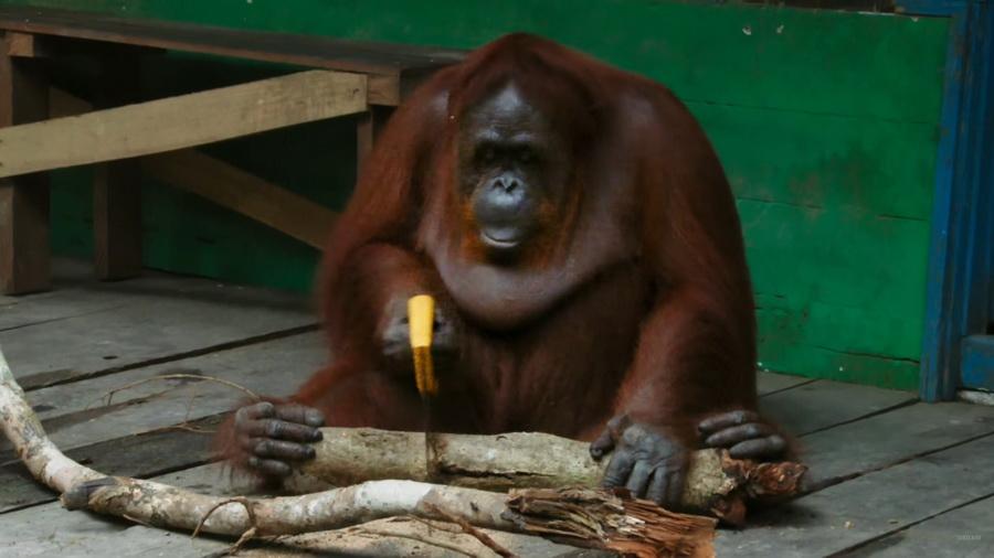 В сети появился видеоролик, как самка орангутанга соревнуется с роботом в распиле веток