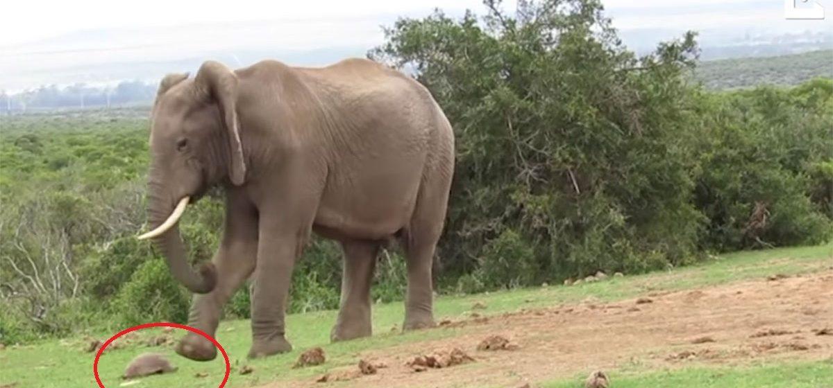 Туристы сняли на видеокамеру, как слон играет в футбол черепахой
