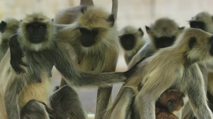 Стая обезьян приняла робота засвоего и«оплакивала» его смерть