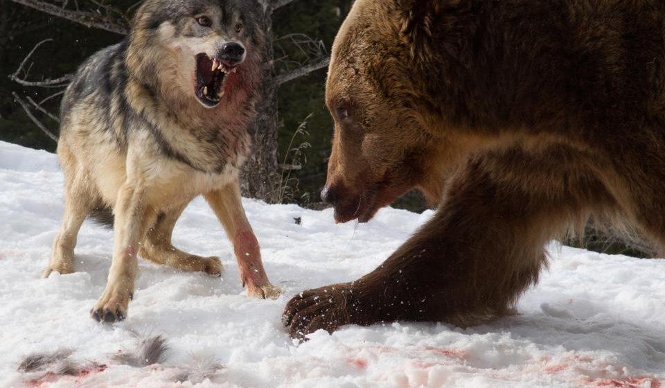 Турист снял на камеру схватку стаи волков с огромным гризли