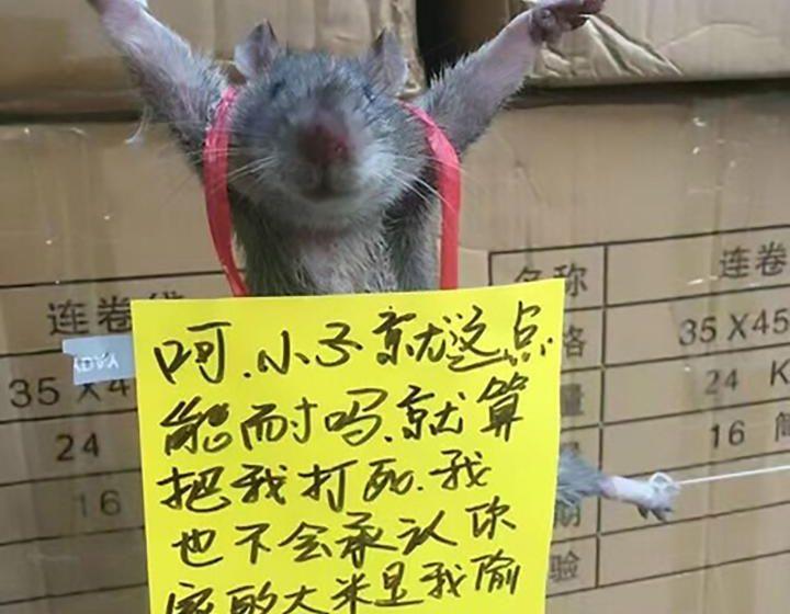 В сети появились фотографии распятой в Китае крысы, воровавшей рис