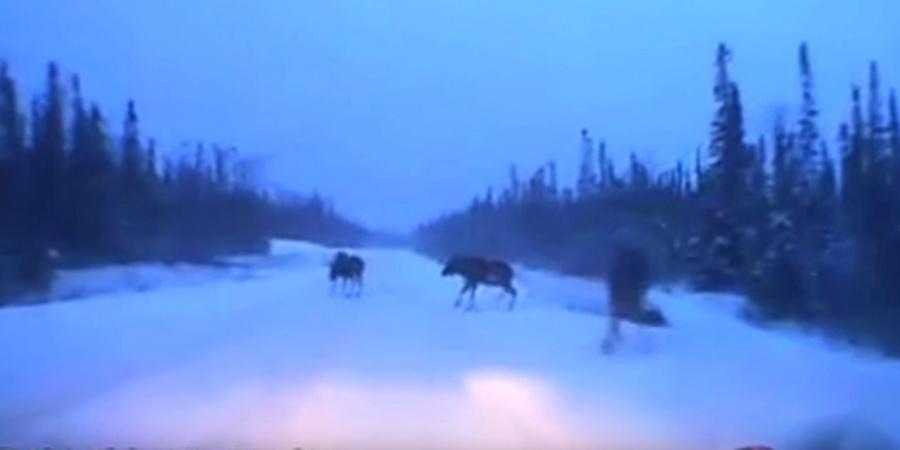 Везучий гражданин Канады промчался намашине между 2-мя лосями