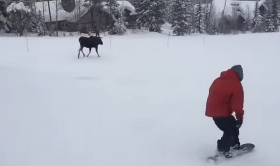 В интернете набирает популярность видео погони дикого лося за сноубордистом