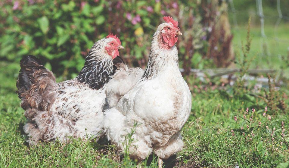 Из-за птичьего гриппа Беларусь ограничила ввоз птицы из ряда регионов Европы