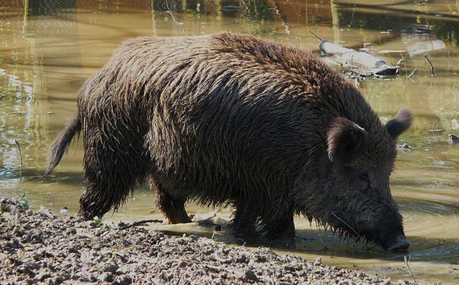В период с 2013 по 2016 год в Беларуси уничтожено 100 тысяч диких кабанов