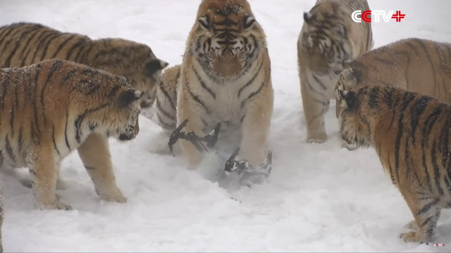 В интернете появилось видео, как растолстевшие амурские тигры охотятся на дроны