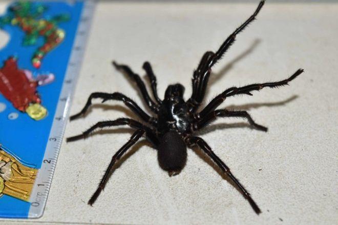В Австралии 10-летний мальчик выжил после укуса самого ядовитого паука в мире