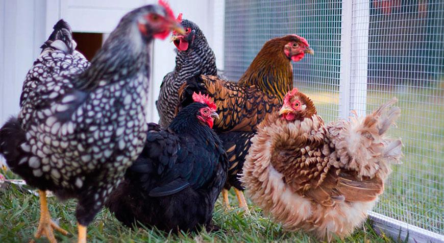 На границе с Беларусью обнаружили птичий грипп