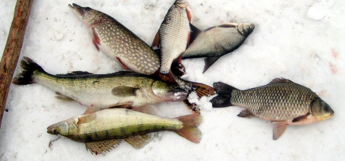 Где в Барановичском районе можно ловить рыбу в неограниченном количестве в предзаморный период