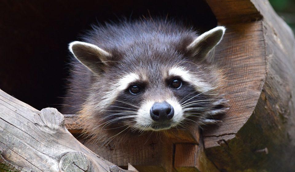 Енот укусил женщину в контактном зоопарке Бреста