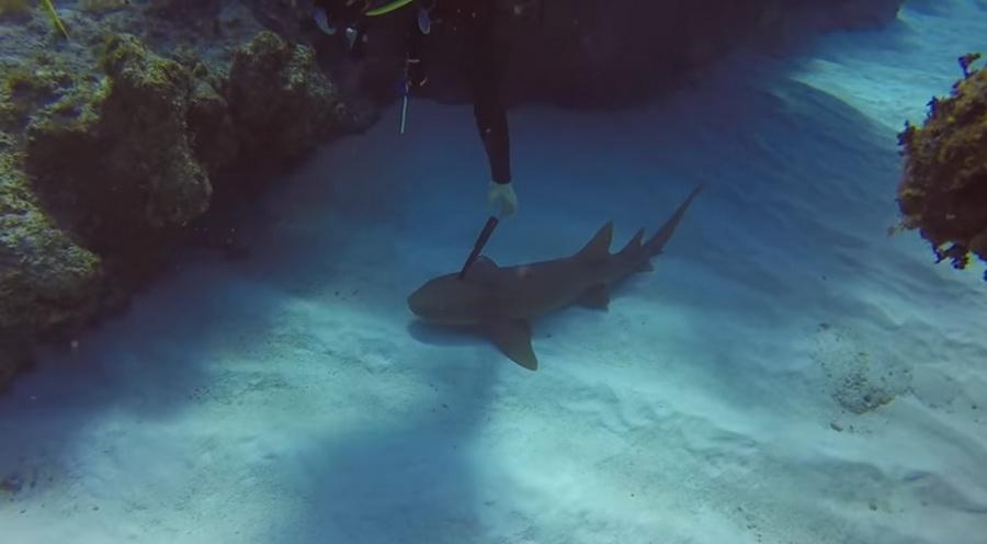 В сети появилось видео, как акула «попросила» дайвера вытащить из нее нож
