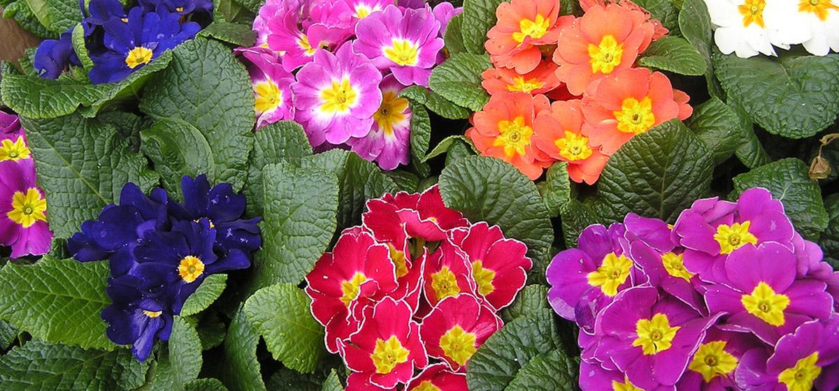 Цветы на грядке: Как сделать, чтобы примула зацвела