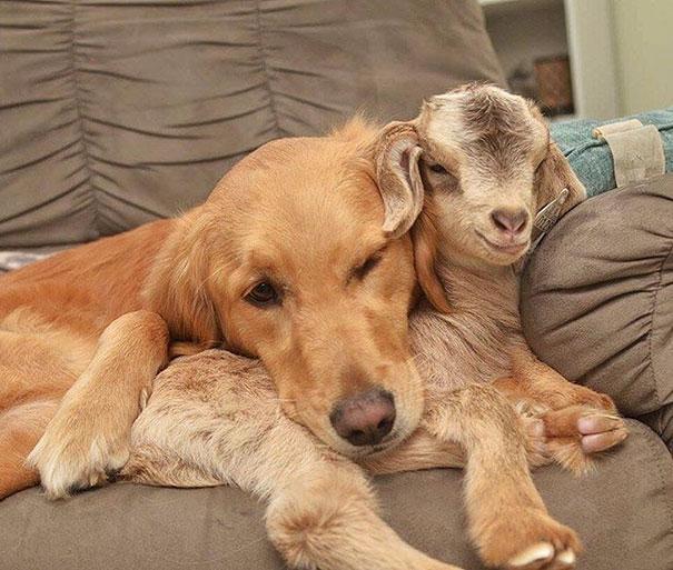 Подборка снимков собаки, которая стала мамой для козлят