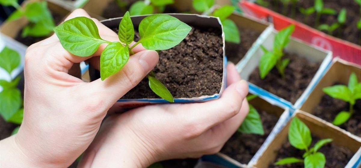 Как вырастить перец – советы дачникам