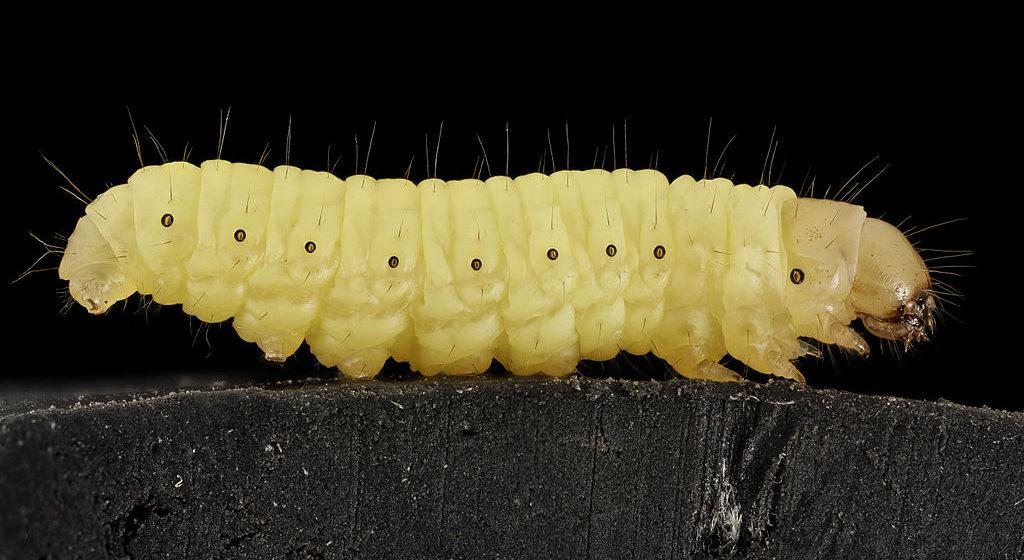 Испанские ученые открыли гусениц, с удовольствием поедающих пластиковые пакеты