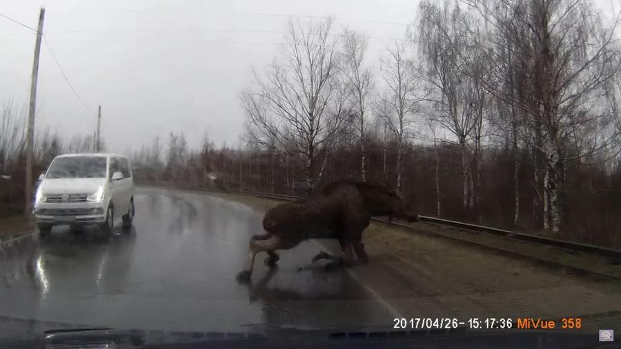 В Рыбинске лось чуть не погиб, поскользнувшись на дороге прямо перед машиной (видео)