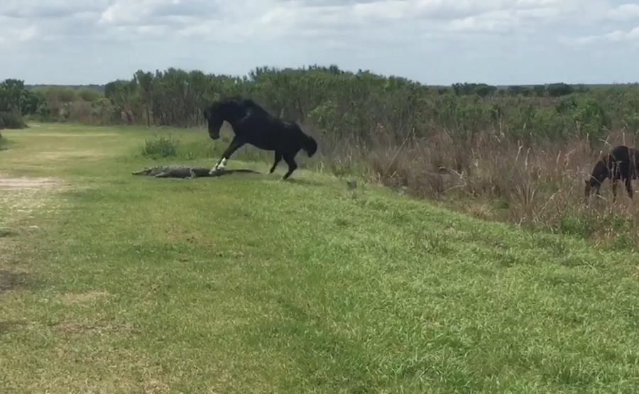 Во Флориде туристы сняли на камеру, как дикая лошадь напала на аллигатора