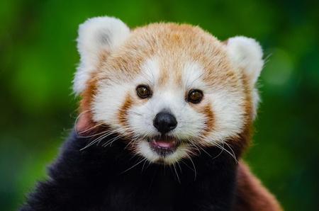 Смешное видео, как красная панда пытается напугать камень, взорвало интернет