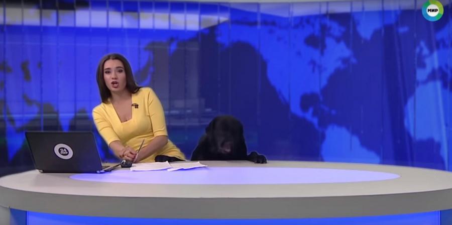 В сети набирает популярность видео, как во время прямого эфира новостей в студию ворвалась большая собака