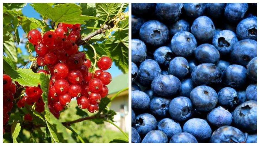 Из-за заморозков в Беларуси ожидается маленькая урожайность ягод и плодовых деревьев