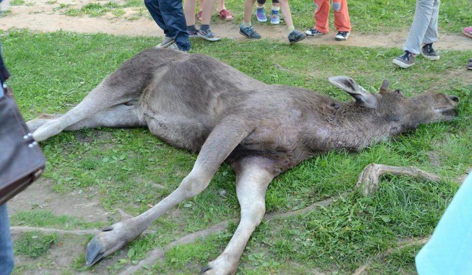 Бешеный лось сдох на улице Могилева