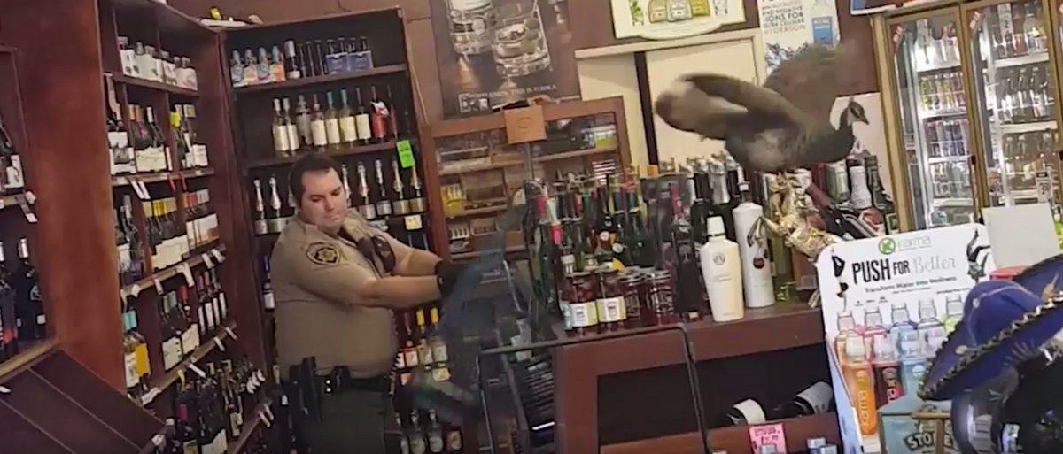В США павлин разнес магазин с алкоголем, разбив спиртного на 500 долларов (видео)