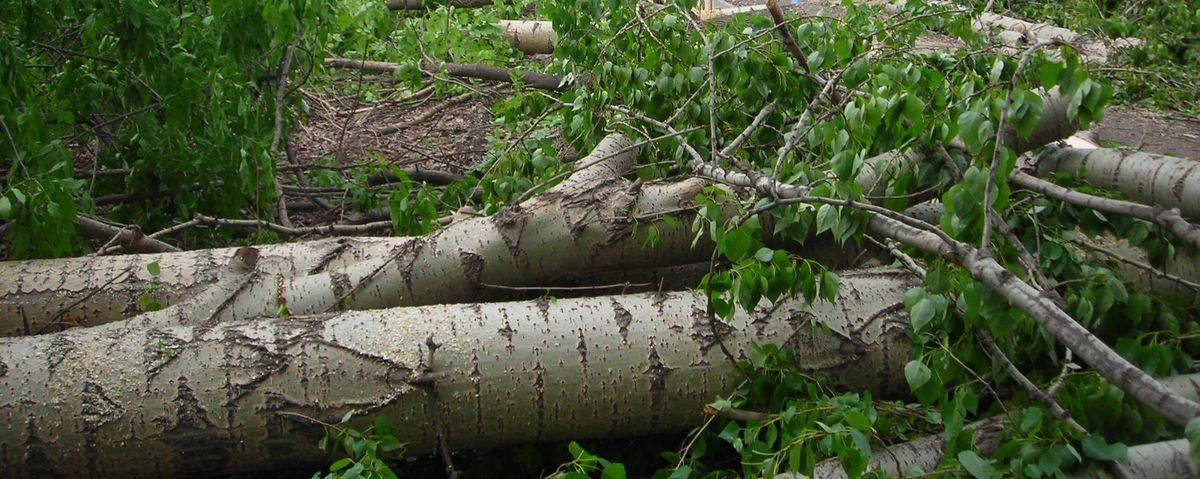 До 1150 рублей штрафа грозит жителю Барановичей за незаконную вырубку ольхи