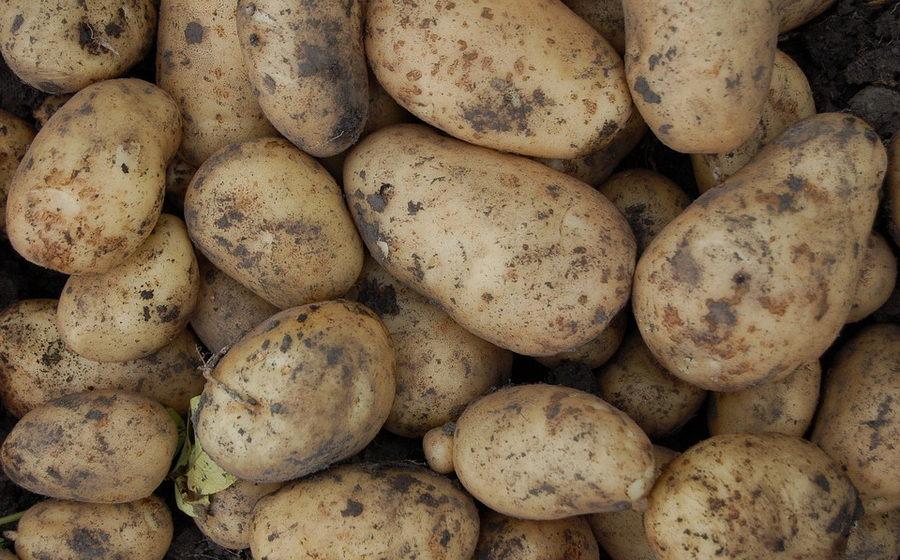 Заморозки в Беларуси убили ранний картофель