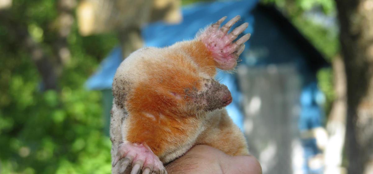 Под Оршей поймали редкое животное — крота-альбиноса (фото)