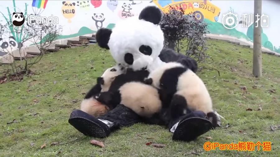 В Китае смотрители заповедника одеваются в костюм панды, чтобы поиграть с медвежатами(видео)
