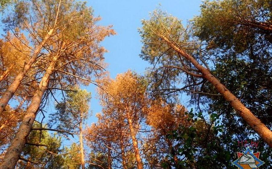 В Беларуси жуки-короеды повредили уже до 4 тысяч гектаров леса
