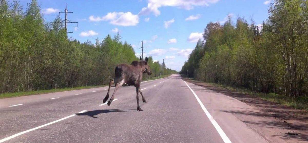 Под Минском произошло две аварии из-за лосей