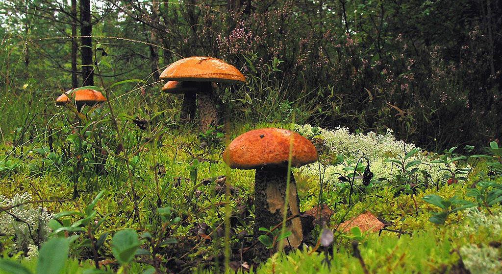 Беллесозащита: Белорусы продолжают собирать радиоактивные грибы