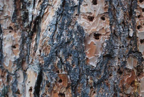 Из-за жука-короеда в Барановичском регионе вырубят 100 гектаров леса