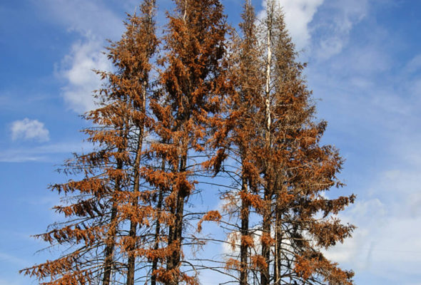 В Барановичском регионе из-за жука-короеда вырубили 120 гектаров леса