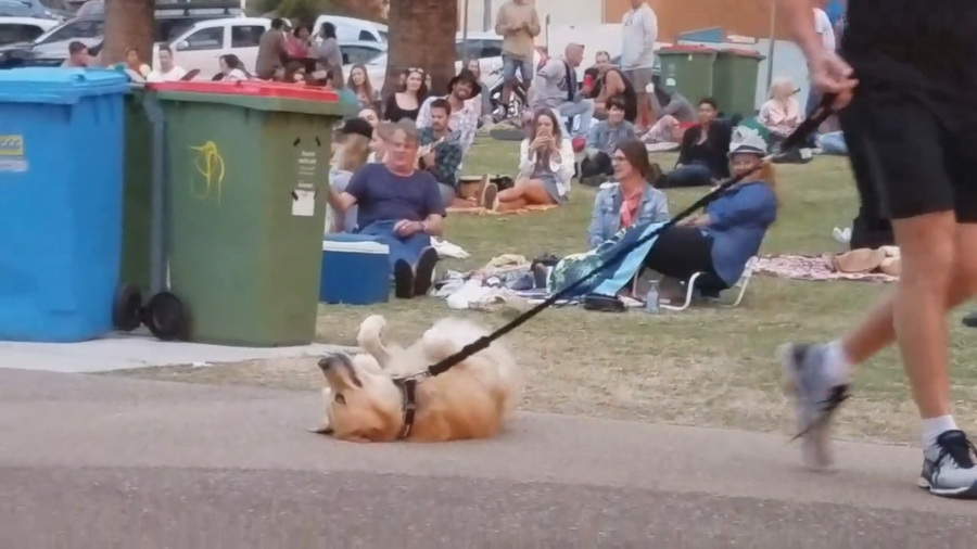 В Австралии пес отказался уходить из парка со своим хозяином и притворился мертвым (видео)