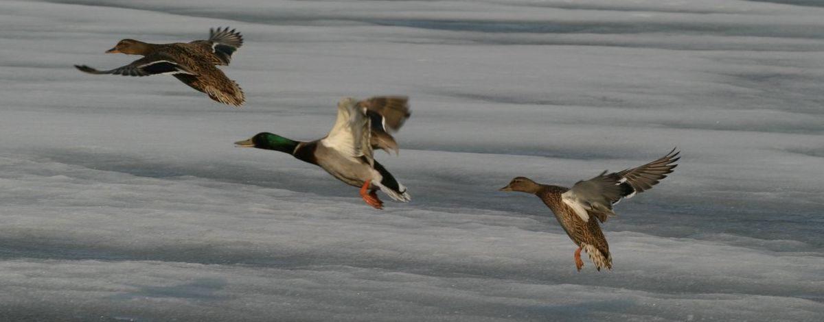 С 12 августа открывается сезон охоты на птиц — когда и кого можно промышлять в Барановичском районе